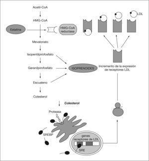 Mecanismo de acción de las estatinas. HMG-CoA: hidroximetilglutaril-coenzima A; LDL: lipoproteínas de baja densidad; SRE: elemento regulador de esteroles; SREBP: proteínas de unión al elemento regulador de esteroles.