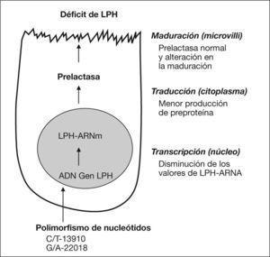 Secuencias que pueden estar implicadas en la hipolactasia genética. LPH: lactasa-floricina hidrolasa.