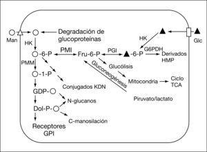 Ruta de la mañosa en la N-glucosilación de proteínas. Glc: glucosa; HK: hexocinasa; Man: manosa; PMI: fosfomanosa isomerasa; PMM: fosfomanosa mutasa.
