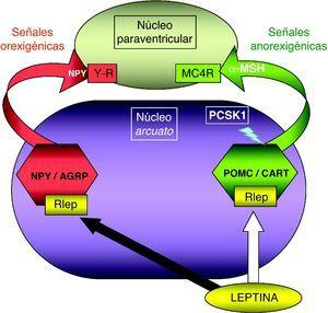 Representación esquemática de la integración hipotalámica de los efectos anorexigénicos de la leptina en el núcleo arcuato hipotalámico. La flecha blanca indica su efecto estimulador sobre las neuronas productoras de POMC/CART, procesando la PCSK1 a la primera para producir α-MSH. La flecha negra indica su efecto inhibidor en las neuronas productoras de NPY/AGRP. MC4R: receptor número 4 de MSH; NPY/AGRP: neuronas productoras de neuropéptido Y y del péptido relacionado con la proteína Agouti; PCSK1: convertasa de proproteínas tipo subtilisina kexina 1; POMC/CART: neuronas productoras de proopiomelaocortina y del tránscrito relacionado con cocaína y anfetamina; RLEP: receptor de leptina; α-MSH: fracción alfa de la hormona estimulante melanocítica.