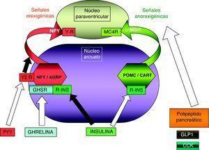 Representación esquemática de la integración hipotalámica de las señales aferentes relacionadas con la homeostasis energética procedentes del sistema digestivo y del páncreas. Las flechas blancas indican efecto estimulador; la de color negro, efecto inhibidor. La ghrelina es el único estimulador de las señales orexigénicas, pues el PYY se une al receptor Y-2, presináptico, inhibiendo la vía de señalización NPY/AGRP. GLP-1, CCK y el polipéptido pancreático tienen diversos mecanismos de acción, pero todos ellos efecto anorexigénico. CCK: colecistocinina; GHSR: receptor del secretagogo de la GH; GLP1: péptido similar a glucagón tipo 1; MC4R: receptor número 4 de MSH; NPY/AGRP: neuronas productoras de neuropéptido Y y del péptido relacionado con la proteína Agouti; POMC/CART: neuronas productoras de proopiomelaocortina y del tránscrito relacionado con cocaína y anfetamina; PYY: péptido YY 3-36; RLEP: receptor de leptina; YR: receptor Y; Y2R: receptor Y subtipo 2 (presináptico inhibidor); α-MSH: fracción alfa de la hormona estimulante melanocítica.