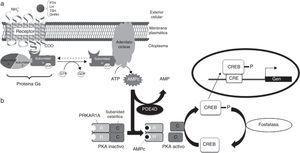 Esquema de la vía del AMPc/proteincinasa A. a) Mecanismo de acción de las hormonas cuyo receptor está acoplado a proteína Gsα. Al unirse la hormona al receptor, se activa la subunidad α de la proteína Gs. Esta interacciona con la adenilato ciclasa, tras lo que se produce la síntesis de AMPc, que ejerce su función como segundo mensajero. Alteraciones a nivel de GNAS (gen que codifica para Gsα) dan lugar a PHP, PPHP, AHO, etc. b) La unión del AMPc a PRKAR1A, la subunidad reguladora dependiente de AMPc, lleva a la disociación y activación de la proteincinasa A. CREB (proteína de unión a los elementos de respuesta al AMPc) se fosforila, con lo que se transloca al núcleo y modifica la expresión de los genes «aguas abajo» de la ruta. La actividad de la fosfodiesterasa PDE4D modula los niveles de AMPc. Alteraciones a nivel de PDE4D y PRKAR1A dan lugar a acrodisostosis, entidad clínicamente relacionada con la AHO.