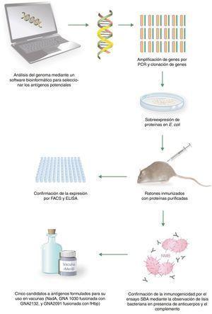 Proceso de obtención de la vacuna 4CMenB mediante vacunología inversa. Adaptada de Tan et al.7.