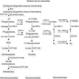 Ruta de la esteroidogénesis con sus enzimas, metabolitos y genes.