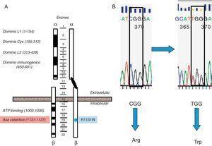 Representación esquemática del gen del receptor de insulina y mutación de la paciente. A) Representación esquemática del gen del receptor de insulina y localización de la mutación detectada en nuestra paciente (punto azul) afectando al dominio catalítico del receptor (Arg-Asp-Leu-Xaa1-Xaa2-Xaa3-Asn, residuos aminoácidos 1131-1137, localizados aproximadamente unos 100 residuos aguas abajo del sitio de unión a ATP) (sombreado en rojo). Los exones quedan indicados en el centro de la figura. B. Mutación Arg1131Trp de la paciente. B) Esferograma con la secuencia normal del gen del receptor de insulina (CGG→arginina) y la mutación en la paciente (TGG→triptófano).
