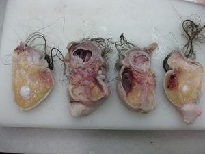 Diferentes cortes para examen anatomopatológico que muestran el esbozo intestinal y el tejido neural.