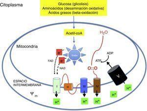 Mecanismo de la fosforilación oxidativa mitocondrial. Los nutrientes esenciales son transformados metabólicamente en acetil-coA y liberan su energía en forma de electrones de alta energía que son transportados a la cadena respiratoria. La energía se utiliza para generar un potencial de transmembrana que se utiliza en la resíntesis de ATP.
