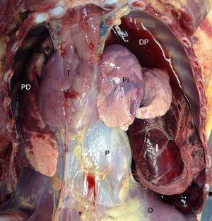 Cavidad torácica abierta.D: diafragma; DP: derrame pleural; I: intestino; P: pericardio; PD: pulmón derecho; PI: pulmón izquierdo; T: timo.