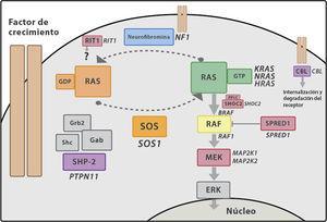 Cascada de señalización RAS-MAPK. Tras la unión del ligando a los receptores celulares, el fragmento intracelular de estos se fosforila reclutando proteínas adaptadoras como GRB2, formando un complejo con factores de intercambio de guaninas (como SOS) que favorecen el cambio conformacional de la proteína RAS inactiva unida a GDP, a la forma activa unida a GTP. RAS-GTP activa consecuentemente las distintas isoformas de RAF (RAF1, BRAF), MEK (MEK1, MEK2) y, por último, ERK.