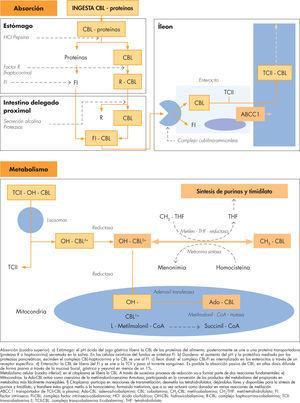 Absorción y metabolismo de la vitamina B12.