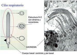 Estructura de los cilios respiratorios.