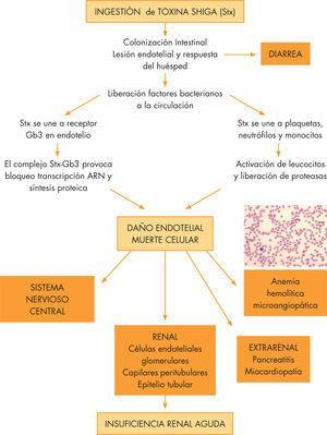 Patogénesis del síndrome hemolítico urémico asociado a diarrea