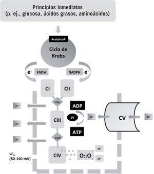 Esquema del metabolismo aeróbico. Los principios inmediatos son metabolizados por distintas vías a un elemento común, la acetil-coenzima A, que entra en el ciclo de Krebs en la mitocondria. Durante el proceso del ciclo del ácido tricarboxílico, electrones altamente energéticos son liberados y transportados por transportadores específicos (NAD y FADH) a la cadena respiratoria. La energía de estos electrones se utiliza para crear un potencial de transmembrana mitocondrial (\\fm). Los protones (H+) extruidos son luego introducidos por acción de la trifosfato de adenosina (ATP)-sintasa, lo que libera de nuevo energía, que es utilizada para la síntesis de ATP a partir de bifosfato de adenosina (ADP). El oxígeno capta4 electrones liberados por la cadena respiratoria, evitando la formación de especies reactivas. El metabolismo aeróbico es 18 veces más eficiente que el anaeróbico e indispensable para la vida multicelular. Fuente: Vento et al1, Saugstad3, Maltepe y Saugstad4, Auten y Davis5 y Bartz y Piantadosi6.