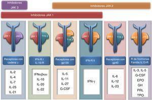 Las JAK quinasas intervienen en la señalización intracelular de numerosas citocinas.