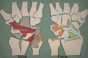 Mecanorreceptores de la muñeca. La figura de la izquierda corresponde a la vertiente dorsal de la muñeca. Cuanto más oscuro es el color del ligamento, mayor presencia de mecanorreceptores. Los ligamentos dorsales y los relacionados con el hueso piramidal están ampliamente inervados. El ligamento escafolunar en su vertiente palmar también. El CFCT (color naranja) también cuenta con un número elevado de mecanorreceptores.