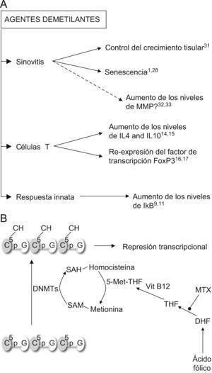 Acciones de los inhibidores de las ADN metiltransferasas. A) Predicción de los efectos del tratamiento con agentes demetilantes en la artritis reumatoide. Según indican los estudios disponibles, el uso de estos tratamientos redundaría en beneficios en los procesos patogénicos principales de la artritis reumatoide: la sinovitis, la polarización de las células T y la inmunidad innata. B) Efecto del Metotrexato (MTX) sobre la acción de las ADN metiltransferasas (DNMTs). DHF: ácido dihidrofólico; THF: ácido tetrahidrofólico; SAM: sulfoadenosil metionina; SAH: sulfoadenosil homocisteina.