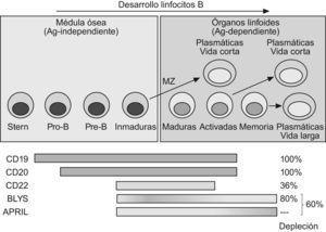 Desarrollo de LB en sangre periférica.