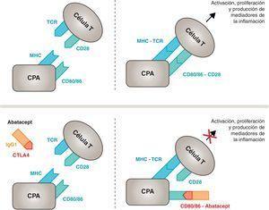 Mecanismo de acción del abatacept. El fragmento del abatacept constituido por el dominio extracelular del CTLA4 se une a los receptores CD80/CD86, evitando o desplazando su interacción con el receptor CD28. De esta forma se bloquea selectivamente la unión específica de los receptores CD80/CD86 al CD28, lo que equivale, fisiopatológicamente, a bloquear la segunda señal de la activación inmunitaria y, por tanto, la activación de las células T. CPA: célula presentadora de antígeno; CPH: complejo principal de histocompatibilidad; RCT: receptor de células T.