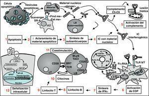 Visión panorámica de la patogenia del Lupus sistémico. La célula apoptótica expone en su superficie las vesículas apoptóticas conteniendo antígenos nucleares (1); debido a un deficiente aclaramiento de las partículas apoptóticas por el sistema mononuclearfagocítico, aquellas se acumulan (2) y ganan acceso a los linfocitos B autorreactivos, los cuales sintetizan autoanticuerpos (3); los IC formados por esos anticuerpos y sus respectivos antígenos nucleicos (4) tienen capacidad para activar el complemento y conducir a lesiones en los tejidos (5) y también para activar a las CDP (6); las CDP responden con la producción de IFN-( por vías dependientes de TLR7 y TLR9 (7); IFN-α tiene múltiples efectos sobre el sistema inmunitario que favorecen el desarrollo de autoinmunidad, como la diferenciación de linfocitos B a células plasmáticas productoras de anticuerpos, la activación de células T y la maduración de las células dendríticas. Todo ello conduce a un círculo reverberante que intensifica y perpetúa el proceso autoinmunitario. Otras dianas terapéuticas están representadas por los LB (8) los LT (9), las citocinas (10), las moléculas de coestimulación (11) y las vías de señalización intracelular (12). CDP: células dendríticas plasmocitoides; IC: inmunocomplejos; IFN: interferón; LB: linfocito B; MØ: macrófago; TCR: receptor de células T; TLR: toll-like receptor.