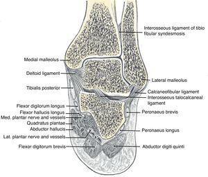 The talocrural joint between the tibia, fibula and talus and the subtalar joint between the talus, calcaneus and navicular.