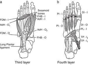 Additional foot muscle layers include: 3rd layer: FDM, flexor digiti minimi brevis; AdH, adductor hallucis; FHB, flexor hallucis brevis. 4th layer: PI, plantar interossei; DI, dorsal interossei; PL, peroneus longus; TP, tibialis posterior; O, origin; I, insertion.