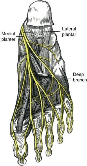 Medial and lateral plantar nerves.