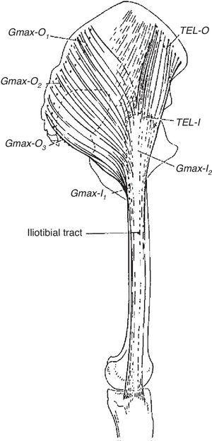The iliotibial tract. There is a poorly defined attachment to the iliac crest. At the greater trochanter the tract receives the insertion of tensor fascia lata anteriorly and most fibers of gluteus maximus in the back. Distaly, the iliotibial tract inserts in the lateral tubercle of tibia. Thus, the iliotibial tract is a bi-articular ligament (hip and knee) that functions as a static and a dynamic stabilizer of the knee.