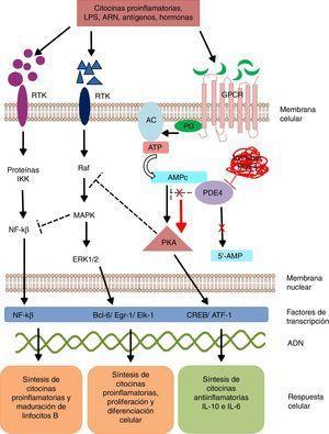 Mecanismo de acción de PDE4 y efecto de su inhibición. AC: adenilato ciclasa; 5'-AMP: 5'-adenylic acid; ATF: activating transcription factor 1; ATP: adenosín trifosfato; Bcl-6: B-cell lymphoma protein 6; c-AMP: cyclic adenosine monophosphate; CREB: cAMP responsive element; Egr-1: early growth response protein 1; Elk-1: E-26-like protein 1; ERK: extracellular signal-regulated kinase; GPCR: G protein-coupled receptors; IKK: inhibitor of nuclear factor kappa-B kinase subunit beta; MAPK: mitogen-activated protein kinases; NFKB: nuclear factor KB; PDE4: phosphodiesterase type 4; PG: G protein; PKA: protein kinase A; Raf: rapidly accelerated fibrosarcoma protein kinases; RTK: receptor tyrosine kinases.