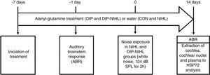 Experimental design. Seven days before the induction of the animal model of noise-induced hearing loss, treatment with alanyl-glutamine (DIP and DIP-NIHL groups) or water (CON and NIHL groups) was started. One day before, auditory evaluation with ABR was performed to determine basal hearing thresholds. At day zero, the NIHL and DIP-NIHL groups were exposed to 124dB SPL for 2h. After 14 days, ABR was performed in all animals, followed by extraction of the cochlea, cochlear nuclei, and plasma for measurement of HSP72 concentration.