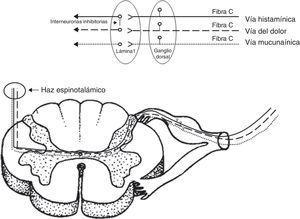 Vías independientes mediadas por histamina (---), mucunaína (- - -) y vía de dolor (....). Las interneuronas inhibitorias conectan la vía de dolor con la mediada por histamina.