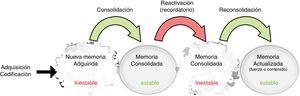 Fases de la memoria. Las memorias recientemente adquiridas son almacenadas y estabilizadas por el proceso de consolidación. Cuando está inactiva, esta memoria no puede ser modificada. Tras la presentación de un recordatorio específico de la experiencia original, la memoria consolidada puede ser reactivada y volver a un periodo de inestabilidad (labilización) seguido por el proceso de reestabilización. Este proceso, al que denominamos reconsolidación, actualiza o modifica el contenido o la fuerza de la memoria. Fuente: Adaptada de Fernández et al.17.