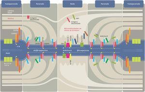 Nodo de Ranvier y su estructura. CASPR: proteína asociada a la contactina; CNTN: contactina; Kv: canales de potasio dependientes de voltaje; MAG: glucoproteína asociada a la mielina; Nav: canales de sodio dependientes de voltaje; NF: neurofascina; NrCAM: molécula de adhesión celular neuronal. Modificado de Querol et al.31.