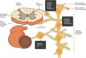 Diferencias anatómicas entre GARD, ganglios simpáticos paravertebrales y ganglios entéricos. Anticuerpos involucrados: en (1) anti-Hu, anti-CV2/CRMP-5, ANNA y anti-SSA/SSB; en (2): anti-AChR ganglionares.