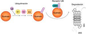 Degradación de las proteínas por el sistema UPS (ubiquitinación-proteólisis). Ubiquitina es activada por E1, conjugada por E2 y ligada al sustrato por E3. Proteínas mal plegadas actúan como sustratos del UPS, reconocidos por chaperones moleculares y asociados con Ub ligasas que promueven la transferencia de E2-Ub y E3-Ub a dichos sustratos. Los sustratos son luego captados por el receptor UBA y el proteasoma 19S y progresivamente degradados a pequeños péptidos por el proteasoma 26S97.