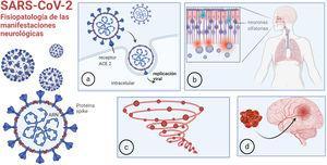 Fisiopatología de las manifestaciones neurológicas: a) unión de la COVID-19 a la ACE2 para ingresar en las células; b) entrada a través de la mucosa olfatoria; c) respuesta inmune desregulada, tormenta de citoquinas; d) trombofilia. Imagen realizada por Mariana Bendersky con biorender.com.