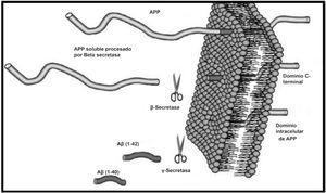 Corte proteolítico de APP. Fuente: Estrada Rodríguez AE, Zomosa Signoret VC. Papel de la agregación del péptido beta amiloide en la enfermedad de Alzheimer. Revista de Educación Bioquímica. 2017;36:34.