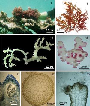 Familia Rhodomelaceae, talos pseudoparenquimatosos: 7, hábito de Laurencia sp. sobre corales; 8, hábito de Laurenciella marilzae; 9, hábito de Palisada perforata; 10, hábito de Osmundea sp.; 11, estructura femenina, cistocarpo con carposporas; 12, corte transversal mostrando célula axial, células pericentrales, células medulares y células corticales; 13, corte longitudinal de ramas, mostrando depresión apical con tricoblastos. Fotos: © Abel Sentíes (excepto la #10=M. Fujii).