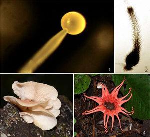 Especies representativas de hongos en México. 1, esporangio difluente de Phycomyces blakesleeanus (Zygomycota), aislado de excremento de ratón, x 360 (M. Ulloa); 2, peritecio de Guanomyces polythrix gen. et sp. nov. (Ascomycota), aislado de guano de murciélago, x 15 (M. Ulloa); 3, basidiomas de Campanophyllum proboscideum gen. nov. (Basidiomycota), x 1 (R. Valenzuela) y 4, basidioma de Aseroë rubra (Basidiomycota), x 1 (R. Valenzuela).