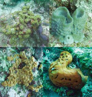 Esponjas del golfo de México, cayo Arenas y bancos Ingleses, Campeche: A, Smenospongia aurea; B, Callyspongia plicifera; C, Scopalina ruetzleri; D, Agelas clathrodes.