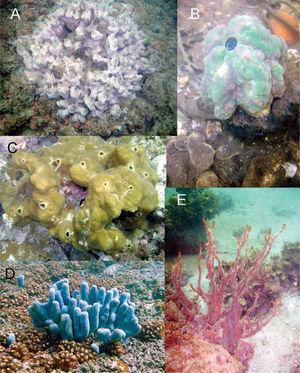 Esponjas del Pacífico. A, Haliclona caerulea; B. Craniella sp.; C, Cliona raromicrosclera; D, Amphimedon texotli; E, Mycale ramulosa.