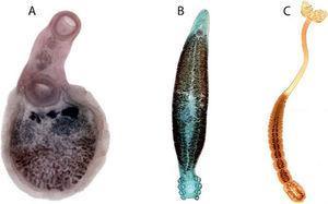 Representantes de la fauna mexicana de Platyhelminthes. A, Trematoda: Xystretum caballeroi Bravo-Hollis, 1953; B, Monogenoidea: Octomacrum mexicanum Lamothe-Argumedo, 1980; C, Cestoda: Duplicibothrium cairae Runhke, Curran y Holbert, 2000.