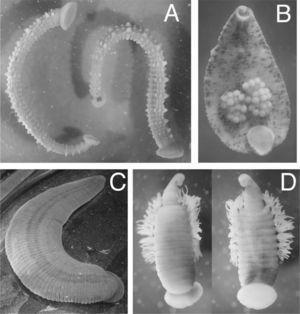 Representantes de euhirudíneos mexicanos. A), Stibarobdella macrothela; B), Helobdella virginiae mostrando huevos adheridos; C), Limnobdella mexicana; D), Ozobranchus branchiatus.