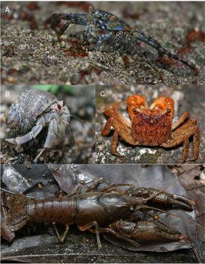 Formas representativas de los Decapoda: A, Grapsidae, Grapsus grapsus; B, Coenobitidae, Coenobita compressus; C, Sesarmidae, Armases americanum; D, Cambaridae, Procambarus cuetzalanae.
