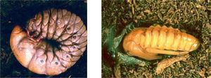 Estados inmaduros de especies de Melolonthidae. 5), larva de tercer estadio de Megasoma elephas Fabricius. Carrillo Puerto, Quintana Roo (diámetro 13cm). 6), pupa de Heterosternus buprestoides Dupont. Ocuilapa, Chiapas (longitud 7cm).