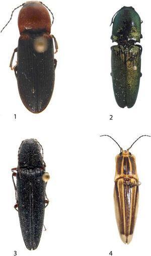 1, subfamilia Cardiophorinae: Aptopus (Eschscholtz, 1829); 2, subfamilia Agrypninae: Chalcolepidius (Eschscholtz, 1829); 3, subfamilia Elaterinae: Melanotus (Eschscholtz, 1829); 4, subfamilia Semiotinae: Semiotus (Eschscholtz, 1829).