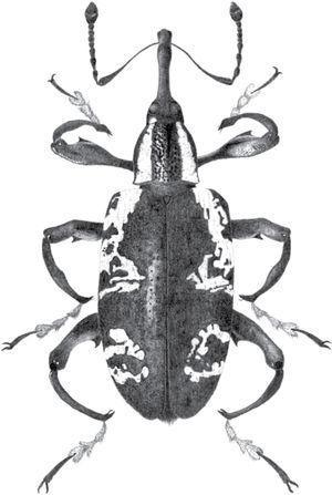 Heilipus albopictus (Champion, 1902) (Curculionidae: Molytinae), vista dorsal.