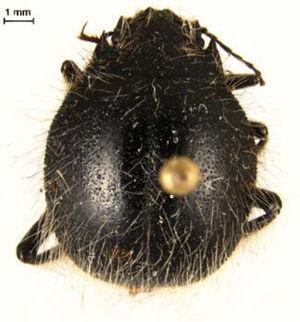 Edrotes ventricosus LeConte (subfamila Pimeliinae).