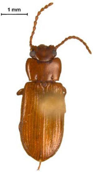Adelina bifurcata Champion (subfamilia Diaperinae).