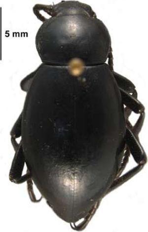 Eleodes curvidens Triplehorn y Cifuentes-Ruiz (subfamilia Tenebrioninae).
