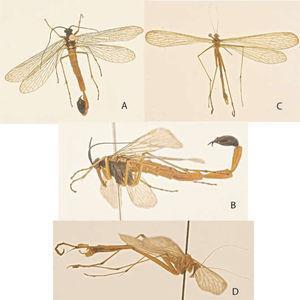 Hábito de Mecoptera. A), Panorpa sp. (macho), dorsal; B), Panorpa sp., macho, lateral; C), Bittacus sp. (macho), dorsal; D), Bittacus sp. (macho), lateral.